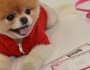 Meet Boo, the world&#8217;s cutest dog Featured Image