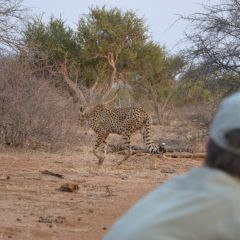 Cheetah and volunteer s.lath