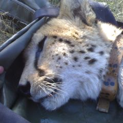 Collaring cheetah