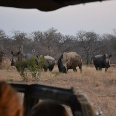 Rhinos on game drives s.lath