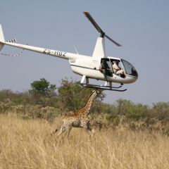 Helicopter assisted giraffe capture