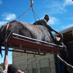 Lifting buffalo onto vehicle