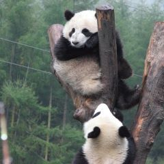 Panda conservation projects
