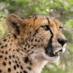 Cheetah Reintroduction