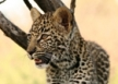 list_image for Cheetah and Predator Conservation in Limpopo