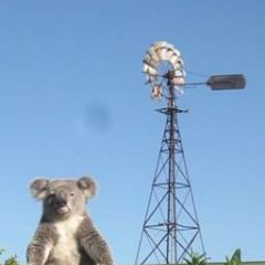 The office koala