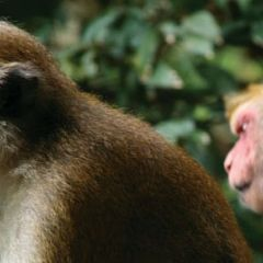 Thailand wildlife rhesus monkey