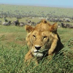 Lion at Mara