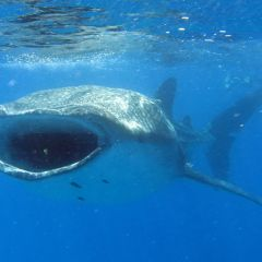 Whaleshark mouth