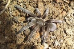 Aussie town infested by 25,000 tarantulas Featured Image