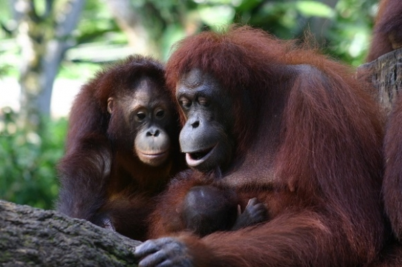 A Magical Orangutan Encounter in Borneo Featured Image