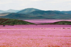 The Atacama Desert is full of pink flowers Featured Image