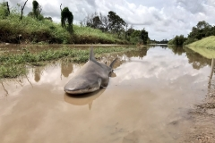 Bull shark washes up in the road after cyclone hits Australia Featured Image