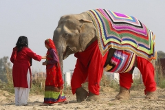 Villagers knit jumpers for Indian elephants due to near-freezing temperatures Featured Image