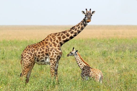 Giraffes on brink of extinction, experts warn Featured Image
