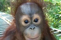 Orphaned orangutan to be rehabilitated Featured Image