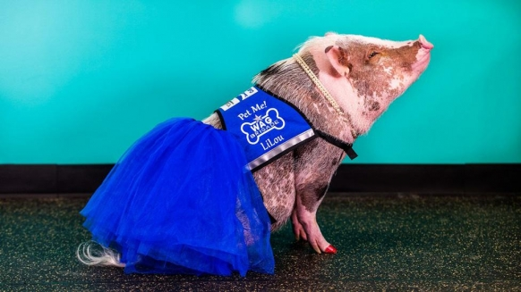 San Francisco Airport now has a therapy pig Featured Image
