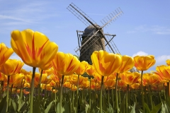 Tourists & Tulip Buying in the Netherlands Featured Image