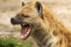 Man allows hyena to eat his genitals Featured Image