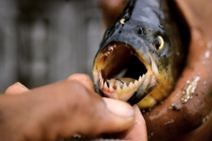 Piranhas plague Brazilian beach Featured Image