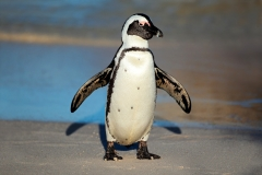 Three Brits steal penguin in Australia Featured Image