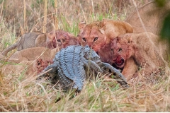 Crocodile Vs. Lion Featured Image