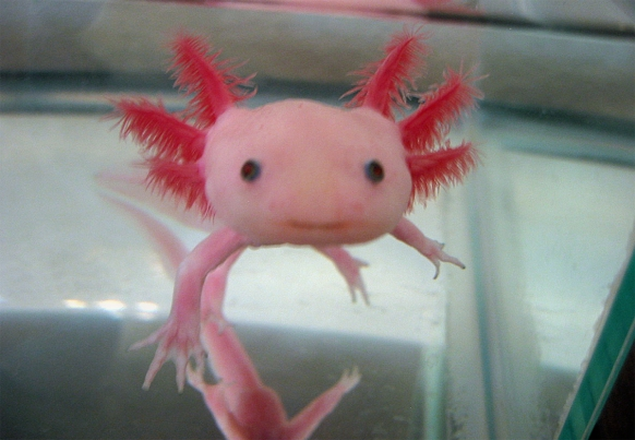 Axolotl Salamander is the worlds cutest animal - Gap Year