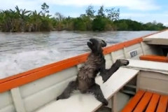 Snoozing sloth lands in speedboat Featured Image