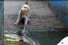 Cat vs. crocodile Featured Image
