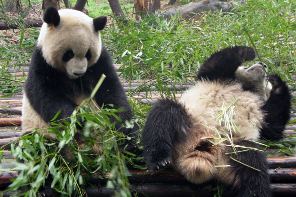 Randy pandas get some alone time Featured Image
