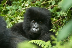 Gorilla Trekking in Northern Rwanda Featured Image