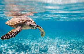 Conserve Sea Turtles in Costa Rica