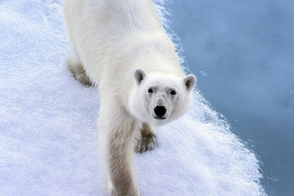 A polar bear in northern Canada