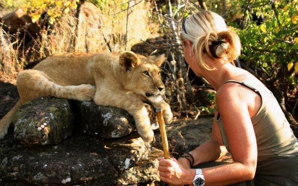 Help to improve Zimbabwe's lion population