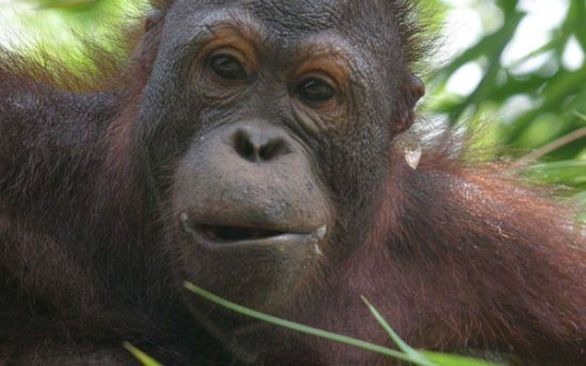 Search for the elusive orangutan in Malaysia