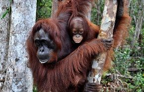 Orangutan and Tribes Volunteering