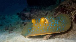 Blue spotted ribbon ray2