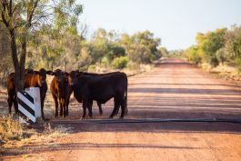 Cattle on a station in the Outback
