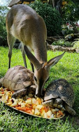 Layla the duiker and the tortoises!