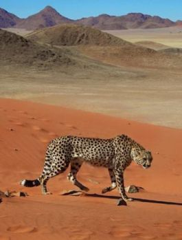 Cheetah in the desert