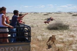 Semi-captive cheetah