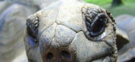 Volunteers will be working closely with giant tortoises