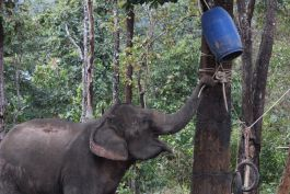 Elephant playing in the sanctuary in Laos