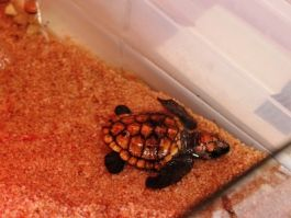 A rescued Loggerhead Turtle.